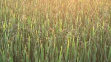 Sunset on the the rice fields — Stock Video