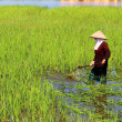 Peasant woman cutting rice in the field — Stock Photo #54370505