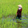 Peasant woman cutting rice in the field — Stock Photo #54370575