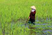 Peasant woman cutting rice in the field — Stock Photo