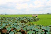 Green rice, field, lotus pond, hut and sky — Foto de Stock