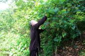 медицина человек, сбор лекарственных трав на горе, vietna — Стоковое фото