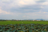 Green rice, lotus pond, field and sky — Foto de Stock