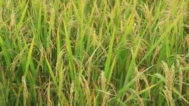 Paddy fields — Stock Video