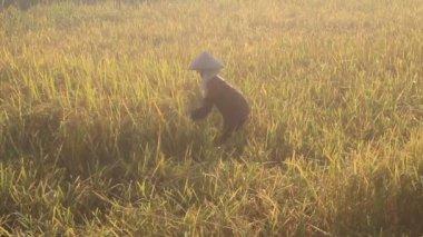 Vietnamese woman farmer harvest on a rice field — Stock Video