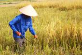HAI DUONG, VIETNAM, October, 26: Vietnamese woman farmer harvest — Stockfoto