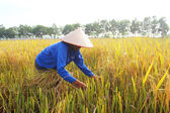 HAI DUONG, VIETNAM, October, 26: Vietnamese woman farmer harvest — Stock Photo