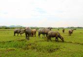 Herd of buffalo on the field — Stock Photo