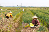 Farmers harvest onion on the field, Vietnam — Photo