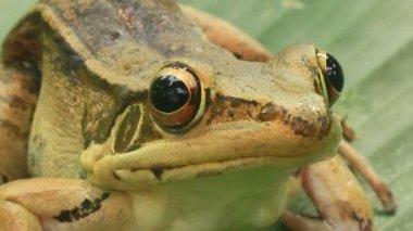 Frog closeup — Stock Video