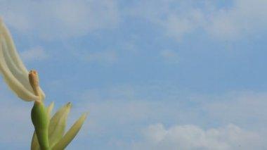 Vita blommor på blå himmel — Stockvideo