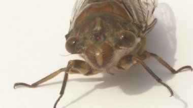 Cicada on a white background — Stock Video