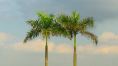 Palm trees and sky — Stock Video