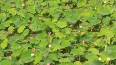 Lotus pond — Stock Video