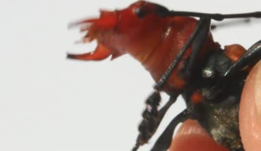 Red beetle on a white background — Stock Video
