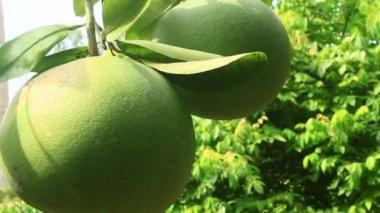 Grapefruit on tree — Stock Video