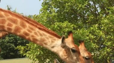 Giraffes in the nature — Stock Video