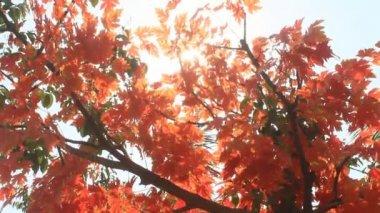 Autumn Leaves Closeup — Stock Video