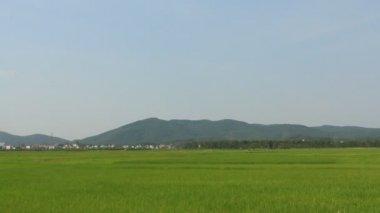 Paesaggio del campo di riso che ondeggiano al vento — Video Stock