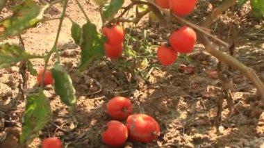 Red ripe tomato garden — Stock Video