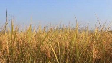 Pirinç alan — Stok video