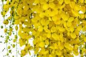 Golden shower (Cassia fistula) — Stock Photo