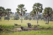 Two African Buffaloes covered in mud — Stock Photo