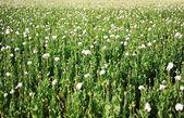 White poppy — Stock Photo