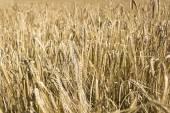Field of wheat in Belarus — Stock Photo