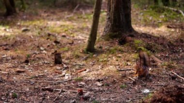 Red squirrel eats in forest — Stock Video