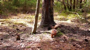 Squirrel in spring pine forest — Stock Video