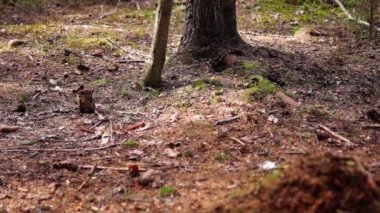 Red squirrel runs away from gray — Stock Video