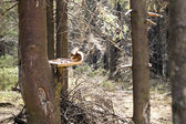 Squirrel on the feeding site in forest — Stock Photo