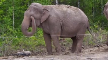Elephant dances among nothern birches — Stockvideo