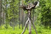 Drewniane rosyjski ducha dzikiego lasu — Zdjęcie stockowe