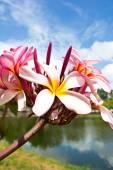 Kwiatów frangipani (plumeria) — Zdjęcie stockowe