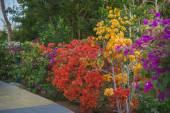 Bougainvillea flowers grows in the garden — Stock Photo