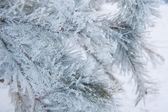 Snow-covered Christmas tree branch  — Stock Photo