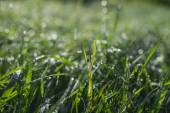 Morning grass with dew  — Stockfoto