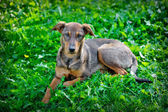 Stray dog in the park on the grass, Ukraine — Stock Photo