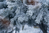 Pine tree covered with hoar frost close-up — Stock Photo