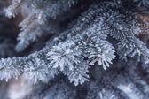 Snötäckt gran julgran gren — Stockfoto