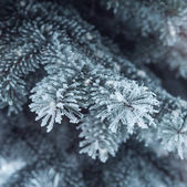 Snow-covered fir — Stock Photo