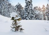 Morning winter mountain landscape with snow covered fir trees in — Stock Photo