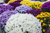 Texture of colorful chrysanthemum flowers — Stock Photo