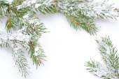 Branch of Christmas tree in snow, on white background  — Stock Photo