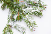 Spruce tree covered with snow detail — Stock Photo