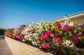 Bougainvillea flowers on a background of exotic trees — Stock Photo