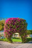 Exotic arch of flowers bougainvillea — Stock Photo