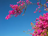 Pink bougainvillea flowers against the sky — Stock Photo